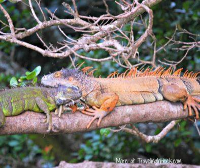 Costa Rica Mother Nature Iguanas-1