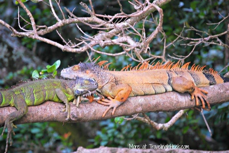 Iguanas hanging out at Palo Verde National Park