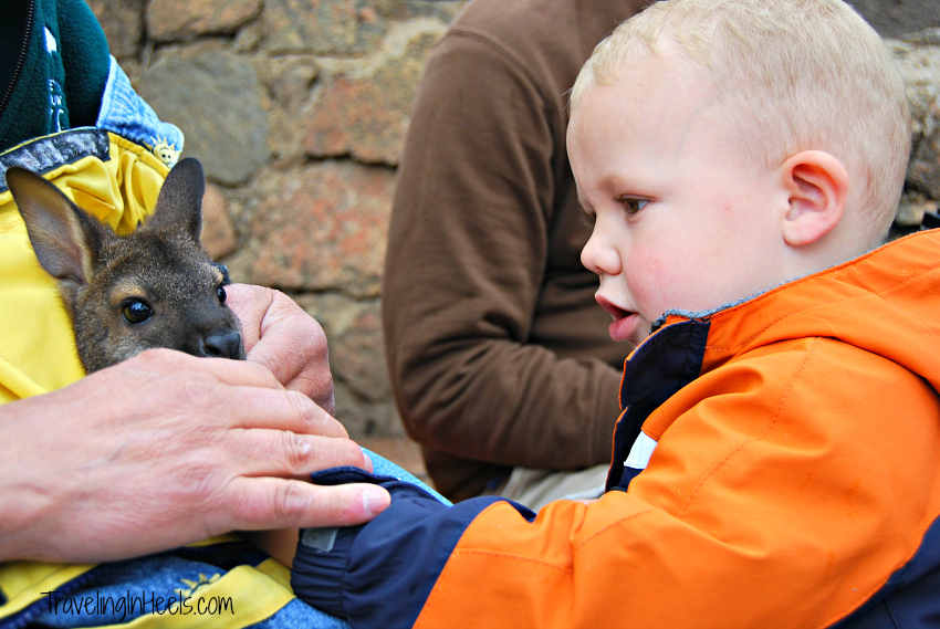 During our visit, petting a baby wallaby was one of the experiences at the Cheyenne Mountain Zoo.