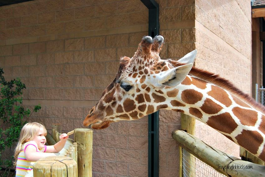 Don't miss visiting America's highest altitude zoo, the Cheyenne Mountain Zoo, where kids can feed the giraffes.