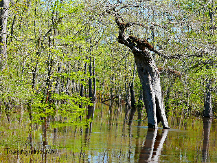 "While on a pontoon near Beaumont, Texas,, we navigated the Neches River and came upon trees with character, including this one called ""Old Woman"""