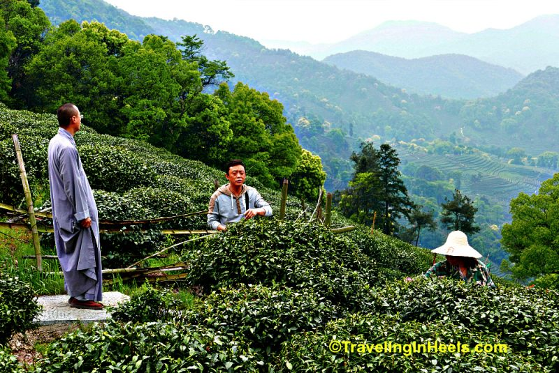 For me, tea therapy in China was a hike across the hills of Longjaing tea plants.