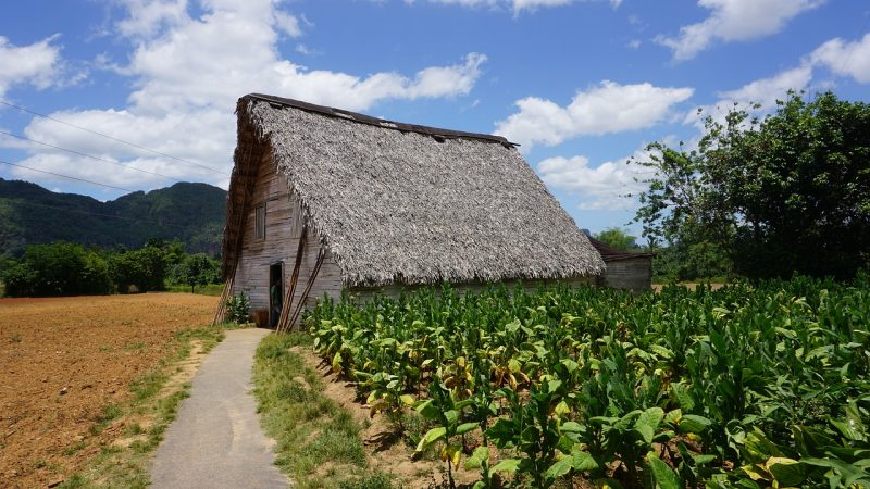 The tobacco fields in Cuba dot the landscape, a nod to the country's legendary cigars.