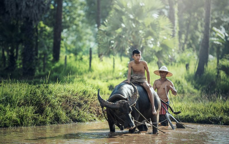 Traffic in Asia isn't always cars and pedestrians. Look out for the Buffalo in Cambodia.