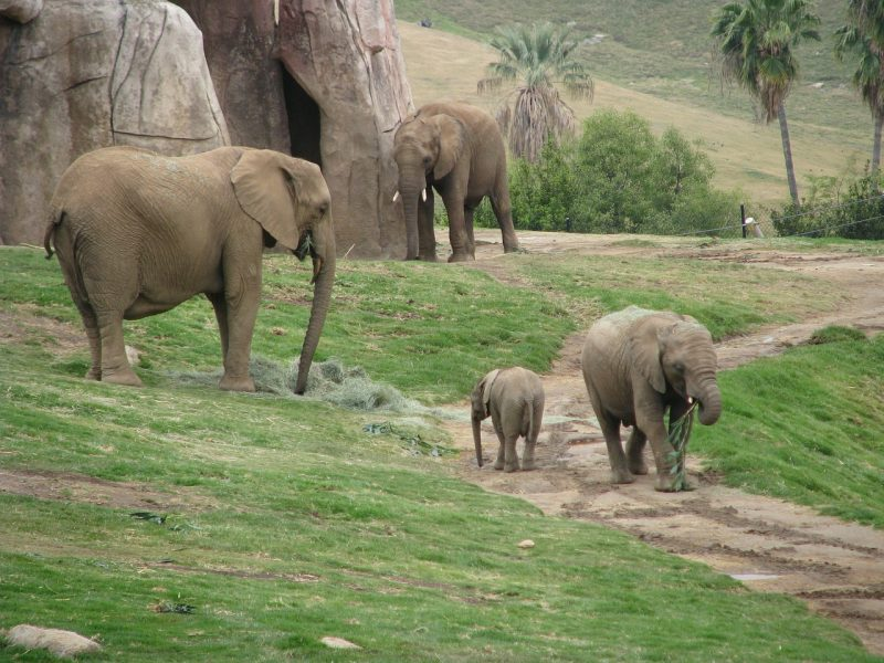 Oh my, tigers, elephants and bears -- and nearly 4,000 other animals call the San Diego Zoo home