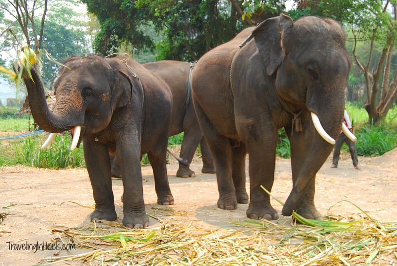 Patara Elephant Farm rescues elephants in Thailand.