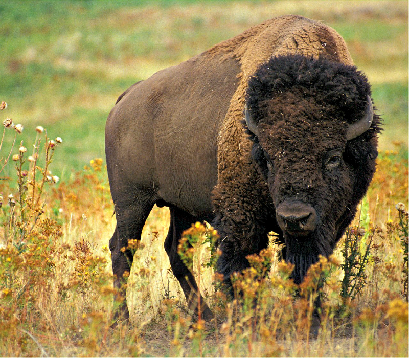Explore South Dakota and see the amazing symbol of this country, the American Bison, at Custer State Park.