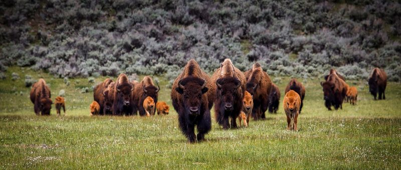 Explore South Dakota for a glimpse of the American Bison, a symbol of this country.