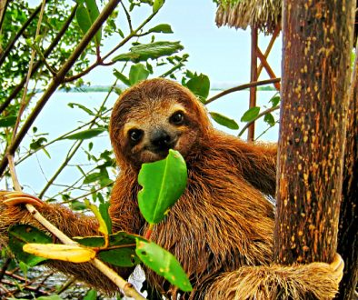 sloth-beach-westin-playa-bonita-panama