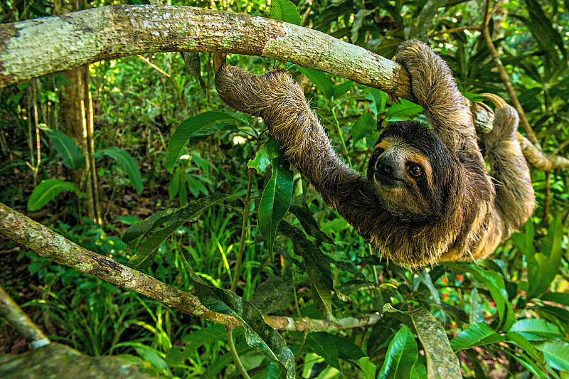 Hang out with a sloth during the rainforest tour, part of the Sand, Sloths and Skyscrapers: Travel Deal at The Westin Playa Bonita, Panama.