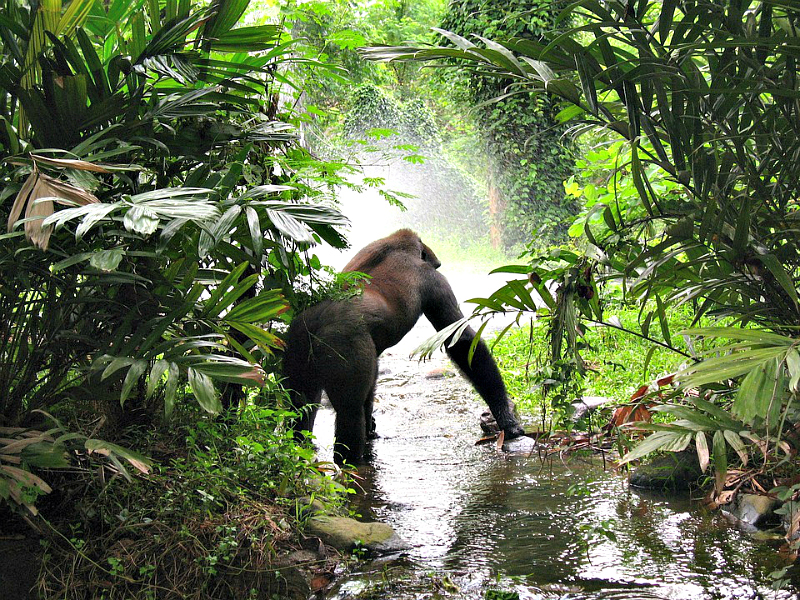 Experience Africa by trekking to watch giant silverback gorillas relaxing in shady alcoves
