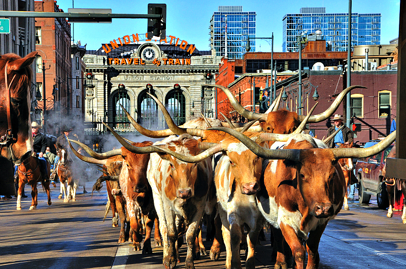 Longhorn steer leave Union Station at the beginning of the National Western Stock Show Parade in downtown Denver. Photo Credit: Steve Crecelius & VISIT DENVER