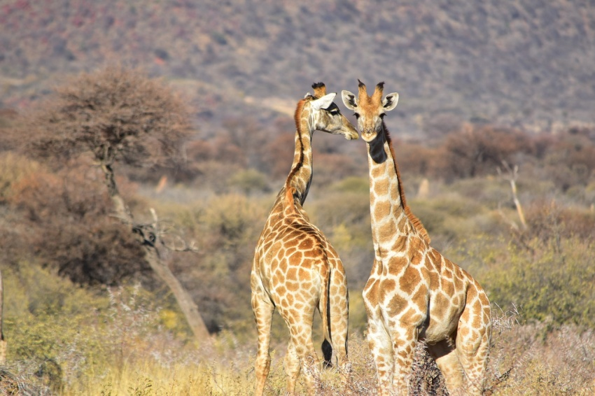 Enjoy the best wildlife sightings and stay at 1 of these Top 5 Luxurious Safari Resorts in Africa. Photo Credit: Pixabay