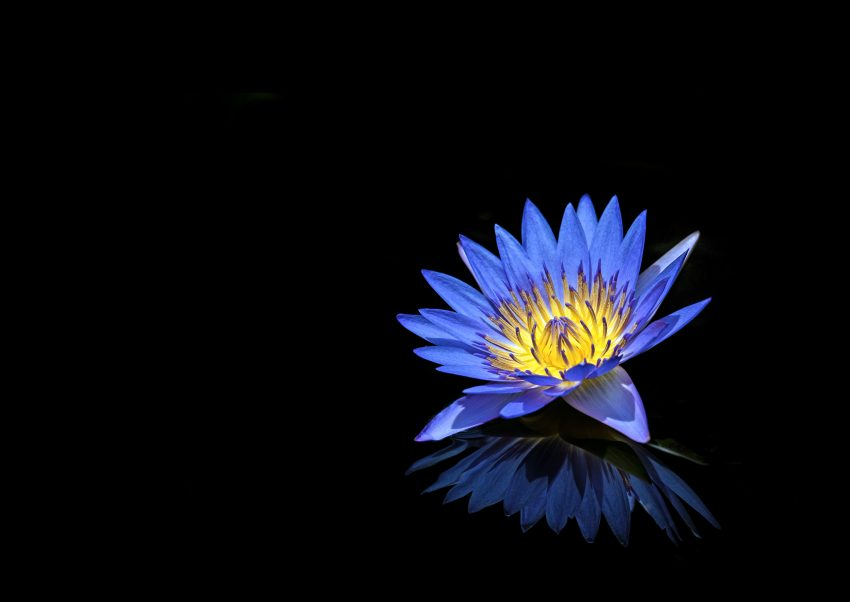 Blue water lily flower at the Cairns Botanical Gardens in Australia.