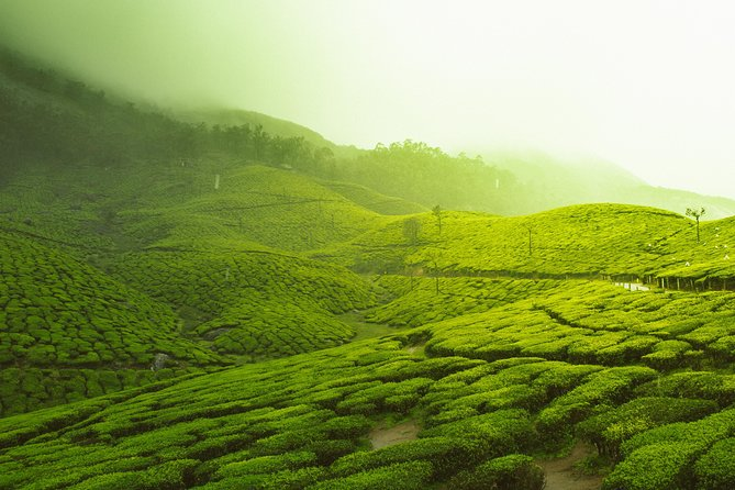 Visit the rolling hills of Munnar which are shrouded with Tea Plantations.