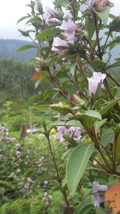 One of the things to do in Kerala is to witness the rare Neelakurinji Bloom.