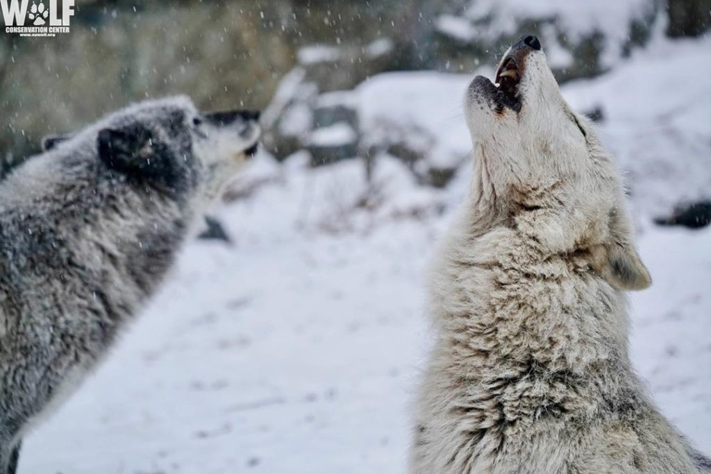 Visit the Wolf Conservation Center in Westchester County New York for a rare look at endangered wolves.