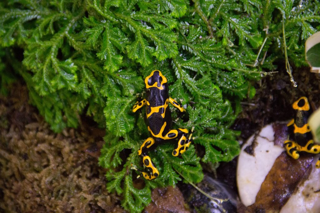 Discover the creatures living in the Amazon Rainforest including dart frogs with virtual field trips.