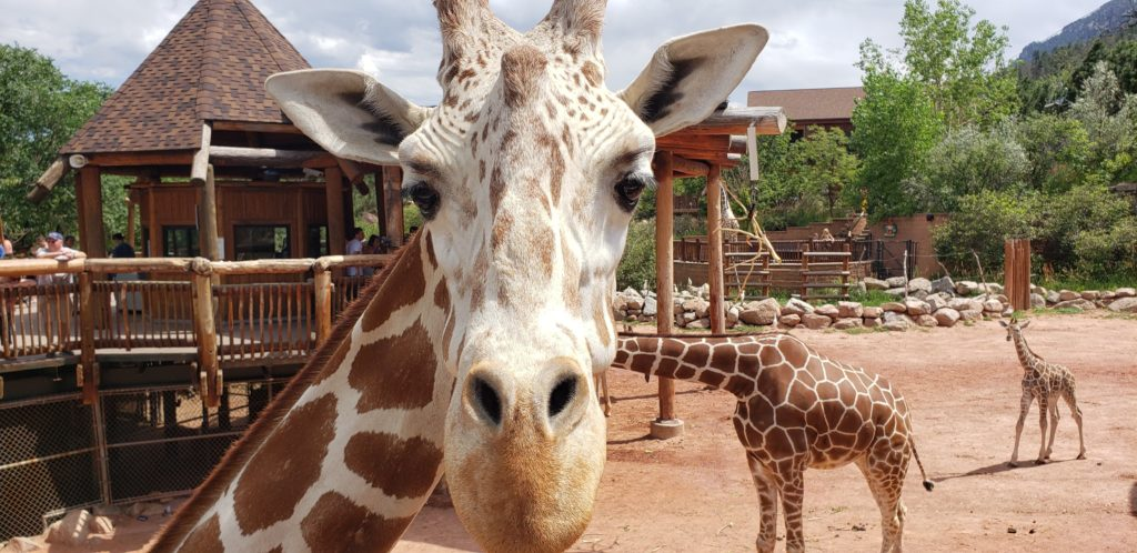 When you're stuck inside, create your virtual field trip with fun webcams at zoos, museums & aquariums, including the giraffe web cam at Cheyenne Mountain Zoo in Colorado Springs.