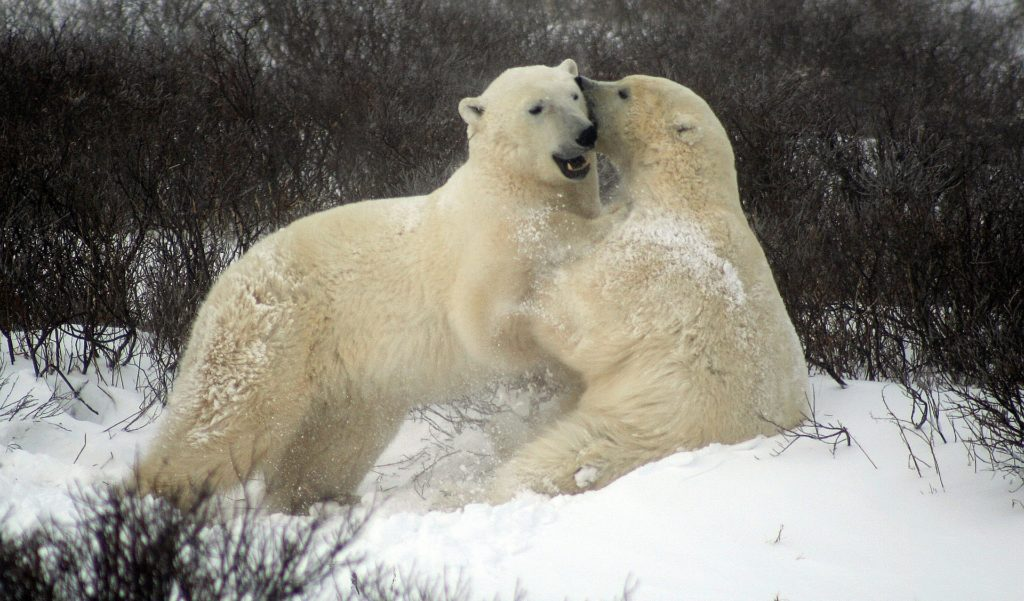 Follow the migration of polar bears in Canada with virtual field trips.